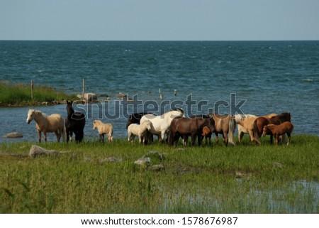 wild horses with foals at coast of Baltic sea at saaremaa island in sunshine day #1578676987