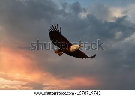 Huge African fish eagle, Haliaeetus vocifer flying against dramatic sunset sky.  Wildlife photography on Zambezi river flood plains, Mana Pools, Zimbabwe.