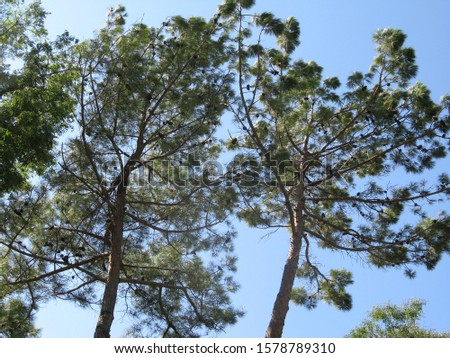 Two pine trees in the sky with green fir and fir cones. #1578789310