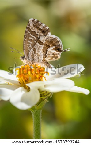 macro of a geranium bronze butterfly (cacyreus marshalli) on a zinnia blossom; as natural predators are missing in europe pest control is possible only through insecticides #1578793744