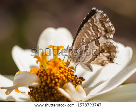 macro of a geranium bronze butterfly (cacyreus marshalli) on a zinnia blossom; as natural predators are missing in europe pest control is possible only through insecticides #1578793747