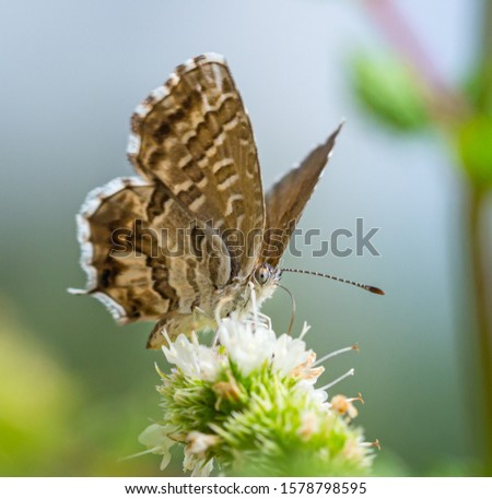 macro of a geranium bronze butterfly (cacyreus marshalli) on mint (menta piperita) blossom; as natural predators are missing in europe pest control is possible only through insecticides #1578798595