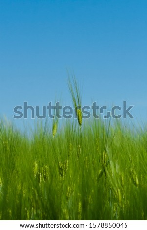 Green barley ears. Barley field. Green ears of barley close-up on a background of barley field #1578850045