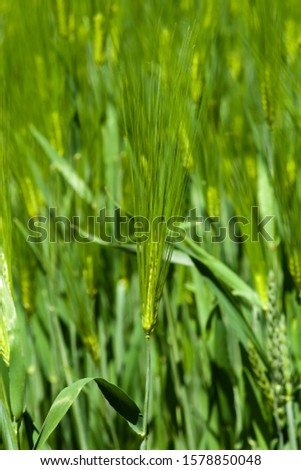 Green barley ears. Barley field. Green ears of barley close-up on a background of barley field #1578850048