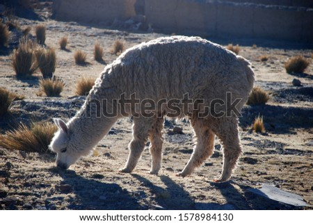 Picture of white alpaca eating grass with blurred background