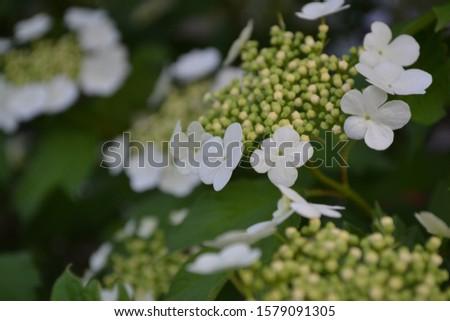 Viburnum, a genus of woody flowering plants Adoxaceae. Useful tree plant. Home. White flowers #1579091305