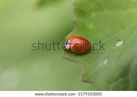 Harlequin Ladybird (Harmonia axyridis) on a plant stem. harlequin Asian ladybeetle on the green leaf.  #1579103005