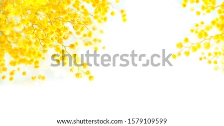 Mimosa flowers. Yellow fluffy Mimosa isolated on white background, concept of spring season. symbol of 8 March, happy womens day, easter. copy space #1579109599