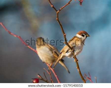 Sparrow. Sparrows close-up. Sparrows on the branches. Birds on a tree. Little birds. Macro shooting.