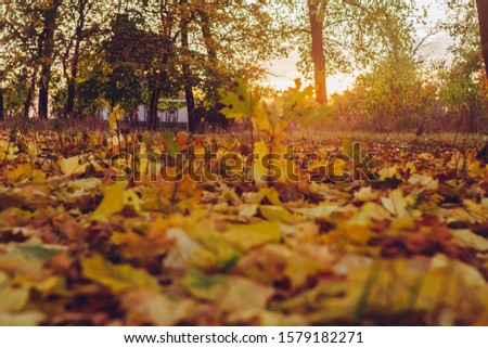 Autumn Tree and Sun during Sunset. Golden sunset in bokeh background. Golden autumn leaf illuminated by a low bright autumnal sun from behind, amongst other red and brown fall leaves on the ground #1579182271