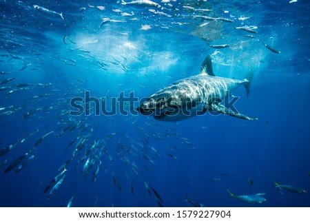 Great White Shark Guadalupe Island Mexico White Shark Big Fish Predator Carcharodon Carcharias Majestic Aggressive Shark Deep Blue Sea Ocean Pacific Ocean #1579227904