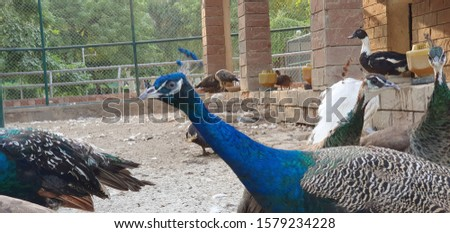 The Indian peafowl also known as the common peafowl #1579234228