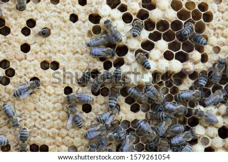 Bees work on a wax cell with larvae.  honeycomb with small larvae of bees. Apis mellifera worker are in honey bee colony they foraging food for bee larva. Hardworking Bees on Honeycomb in Apiary #1579261054