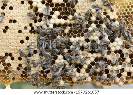 Bees work on a wax cell with larvae.  honeycomb with small larvae of bees. Apis mellifera worker are in honey bee colony they foraging food for bee larva. Hardworking Bees on Honeycomb in Apiary #1579261057