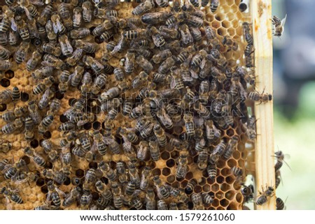 Bees work on a wax cell with larvae.  honeycomb with small larvae of bees. Apis mellifera worker are in honey bee colony they foraging food for bee larva. Hardworking Bees on Honeycomb in Apiary #1579261060