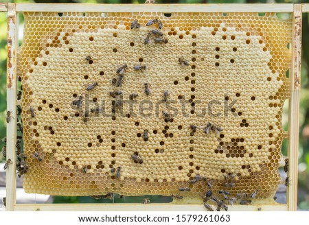Bees work on a wax cell with larvae.  honeycomb with small larvae of bees. Apis mellifera worker are in honey bee colony they foraging food for bee larva. Hardworking Bees on Honeycomb in Apiary #1579261063