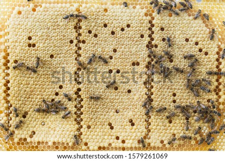 Bees work on a wax cell with larvae.  honeycomb with small larvae of bees. Apis mellifera worker are in honey bee colony they foraging food for bee larva. Hardworking Bees on Honeycomb in Apiary #1579261069