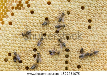 Bees work on a wax cell with larvae.  honeycomb with small larvae of bees. Apis mellifera worker are in honey bee colony they foraging food for bee larva. Hardworking Bees on Honeycomb in Apiary #1579261075