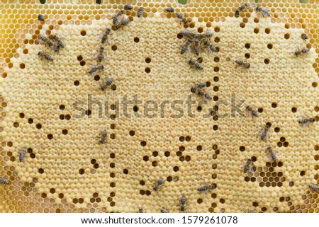 Bees work on a wax cell with larvae.  honeycomb with small larvae of bees. Apis mellifera worker are in honey bee colony they foraging food for bee larva. Hardworking Bees on Honeycomb in Apiary #1579261078