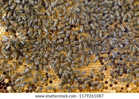 Bees work on a wax cell with larvae.  honeycomb with small larvae of bees. Apis mellifera worker are in honey bee colony they foraging food for bee larva. Hardworking Bees on Honeycomb in Apiary #1579261087