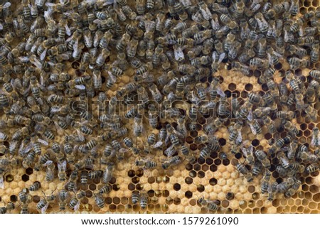 Bees work on a wax cell with larvae.  honeycomb with small larvae of bees. Apis mellifera worker are in honey bee colony they foraging food for bee larva. Hardworking Bees on Honeycomb in Apiary #1579261090