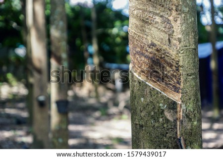 Tapping latex rubber tree, Rubber Latex extracted from rubber tree. #1579439017
