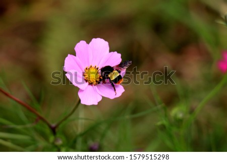 Colorful insect on beautiful purple Cosmos flower in the garden. Violet flowers pictures. Cosmos bipinnatus, commonly called the garden cosmos or Mexican aster.
