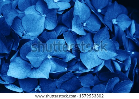 Hydrangea (Hydrangea macrophylla) or Hortensia flowers background in blue color. Trendy colors.  #1579553302
