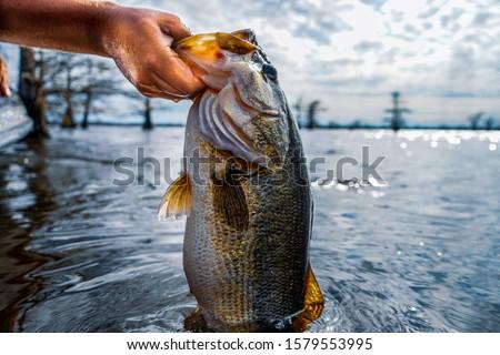 Lifting huge largemouth bass out of lake.  Royalty-Free Stock Photo #1579553995