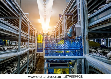 modern industrial cultivation of white mushrooms in large volumes #1579559938
