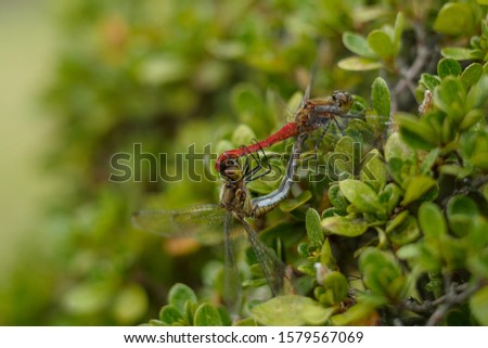 closed up pairs of dragonflies on a leaf of reeds, during the breeding season #1579567069