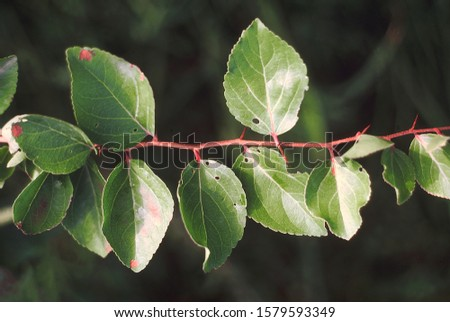 Leaves. Flacourtia Indica. Family: Flacourtiaceae. A small, thorny, deciduous tree. The fruit is edible. #1579593349