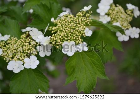 Viburnum, a genus of woody flowering plants Adoxaceae. Useful tree plant. Medicinal fruits. Home garden, bed. White flowers #1579625392