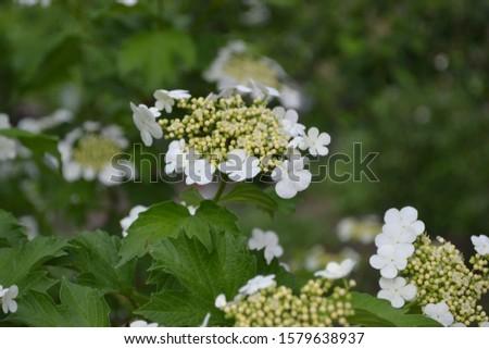 Viburnum, a genus of woody flowering plants Adoxaceae. Useful tree plant. Medicinal fruits. Home garden, flower bed. White flowers #1579638937