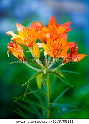 Lilium is a genus of herbaceous flowering plants growing from bulbs, all with large prominent flowers. Lilies are a group of flowering plants which are important in culture  in much of the world. #1579708111