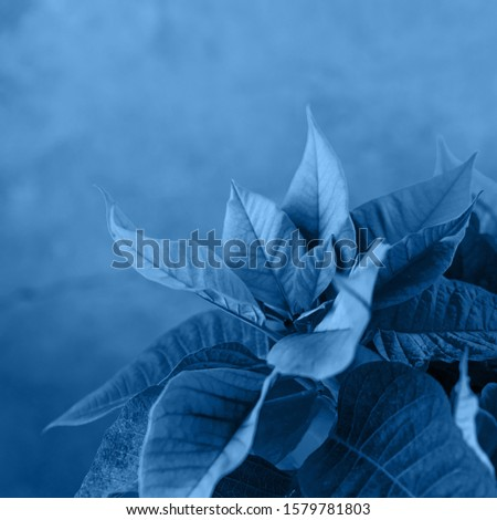 Blue toned poinsettia. Beautiful picture for wallpaper.