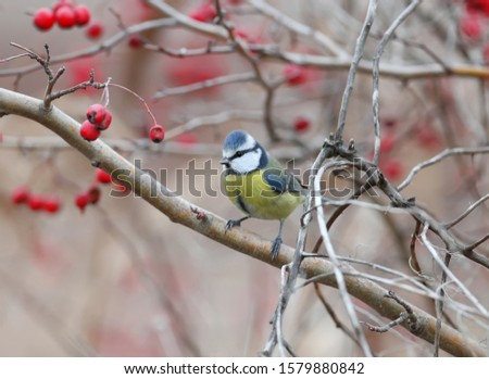 Blue tit shot on a hawthorn bush surrounded by red berries #1579880842