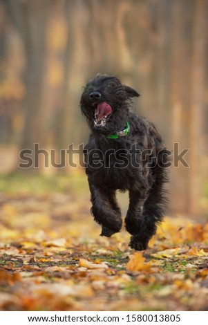 Giant schnauzer Run and play fun in autumn park #1580013805