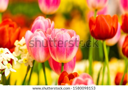 Tulips,beautiful tulips full of color ,white ,Pink ,red,yellow tulip flower bloom on background of garden. Spring flowers Tulips #1580098153