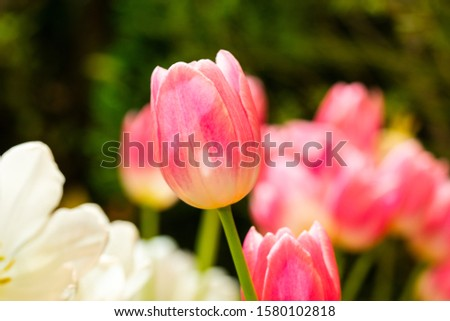 Tulips,beautiful tulips full of color,white ,Pink tulip flower bloom on background of garden. Spring flowers Tulips #1580102818