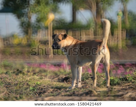 Blurred Image of the Thai dog breeds around the lotus pond in the morning. Blurred picture by rotating lens with a wide F value technics.It is intended to shoot to blur.