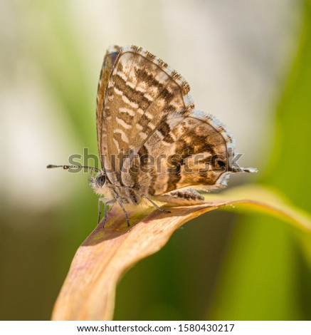macro of a geranium bronze butterfly (cacyreus marshalli) on a faded leaf; as natural predators are missing in europe pest control is possible only through insecticides #1580430217
