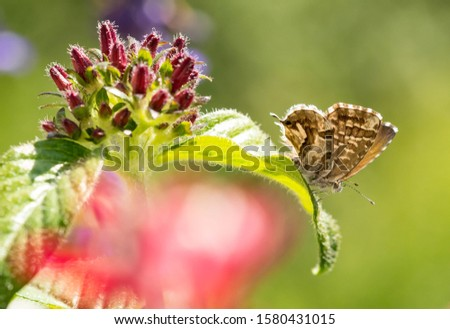 macro of a geranium bronze butterfly (cacyreus marshalli) on egyptian starcluster (pentas); as natural predators are missing in europe pest control is possible only through insecticides #1580431015