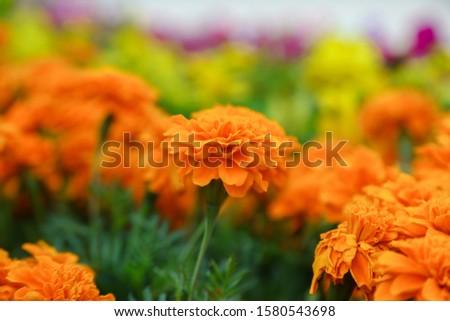 Orange french marigold flower blooming in garden #1580543698