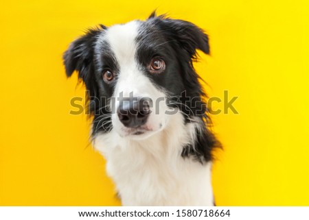 Funny studio portrait of cute smilling puppy dog border collie isolated on yellow background. New lovely member of family little dog gazing and waiting for reward. Pet care and animals concept. #1580718664