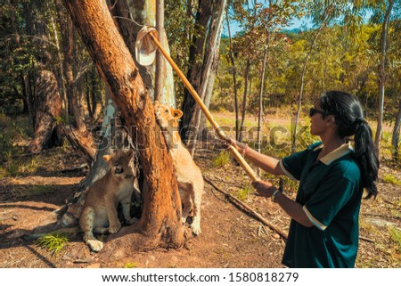 African woman teasing a 8 month old junior lion with a cap on a stick and provokes it to climb the tree, Colin's Horseback Africa Lodge, Cullinan, South Africa #1580818279