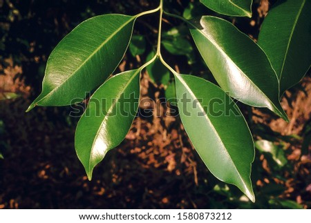 Leaves. Syzigium Cumini. Jamun tree. Family: Myrtaceae. A large evergreen tree with dense, shady foliage and purple edible fruit. The flowers are a valuable source of nectar . #1580873212