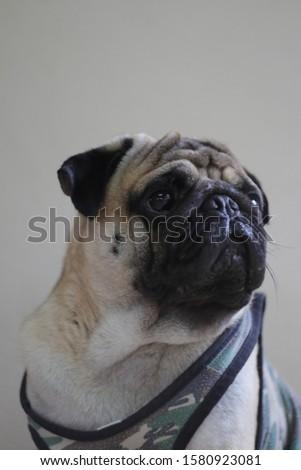Close-up of pug dog photos