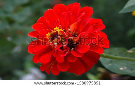 Zinnias are annual plants, shrubs and sub-shrubs growing mainly in North America, Zinnias can be white, greenish yellow, yellow, orange, red, purple or lilac. #1580975851
