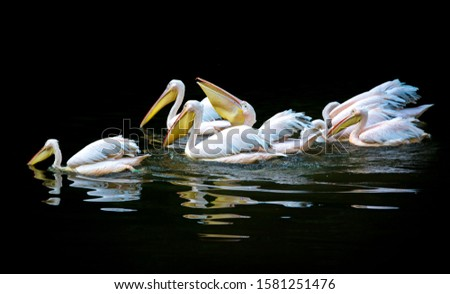 Close-up of the white pelicans floating on the surface of dark water.